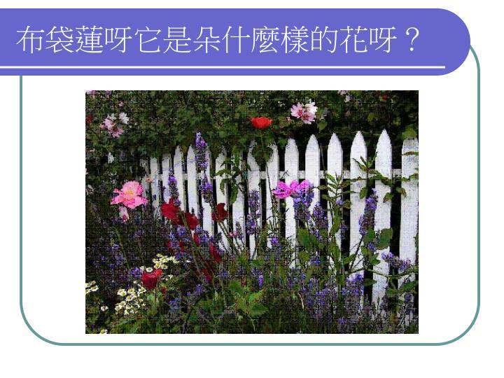布袋蓮呀它是朵什麼樣的花呀?