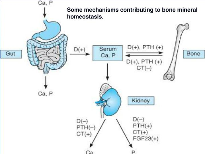 Some mechanisms contributing to bone mineral homeostasis.