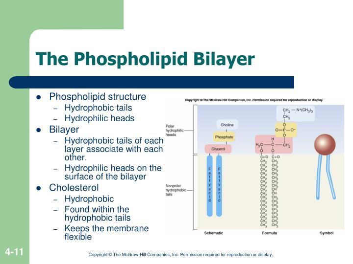 The Phospholipid Bilayer