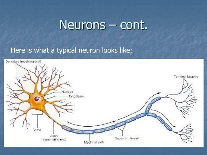 Neurons – cont.
