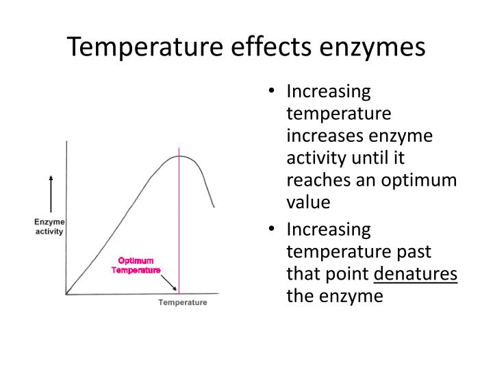 Temperature effects enzymes