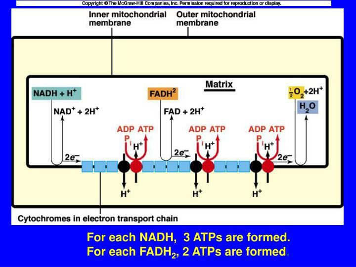 For each NADH,  3 ATPs are formed.