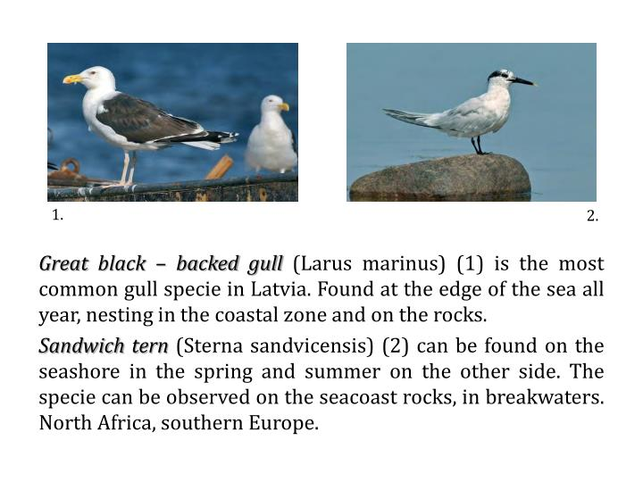 Great black – backed gull
