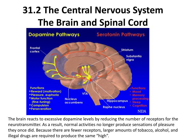 31.2 The Central Nervous System
