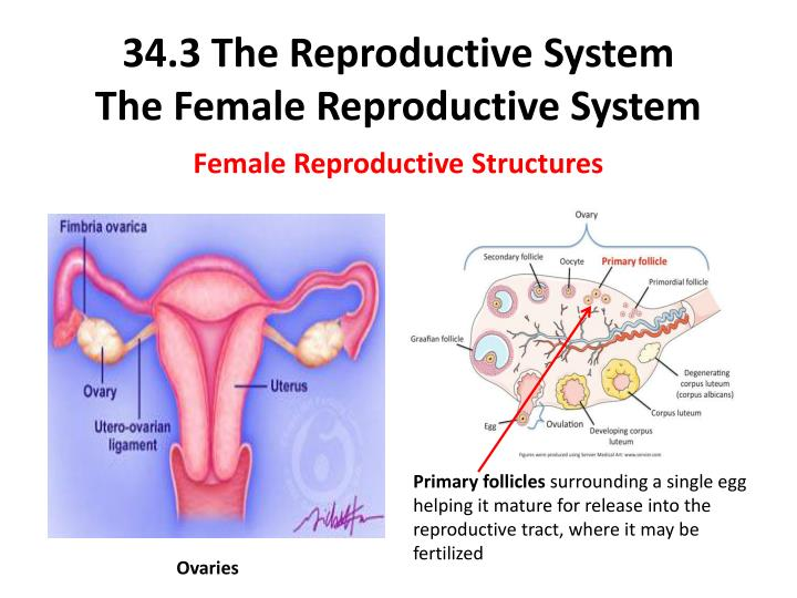 34.3 The Reproductive System