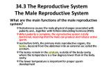 34 3 the reproductive system the male reproductive system