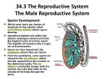 34 3 the reproductive system the male reproductive system1