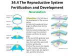 34 4 the reproductive system fertilization and development neurulation
