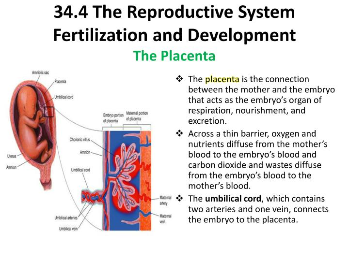 34.4 The Reproductive System