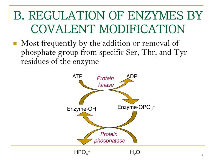 B. REGULATION OF ENZYMES BY COVALENT MODIFICATION