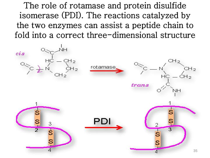 The role of rotamase and protein disulfide isomerase (PDI). The reactions catalyzed by the two enzymes can assist a peptide chain to fold into a correct three-dimensional structure