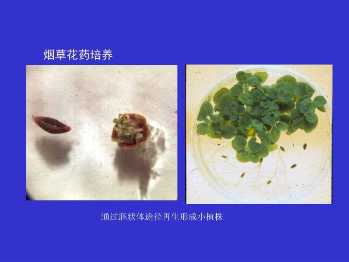 通过胚状体途径再生形成小植株