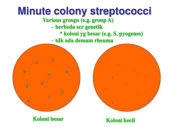 Minute colony streptococci