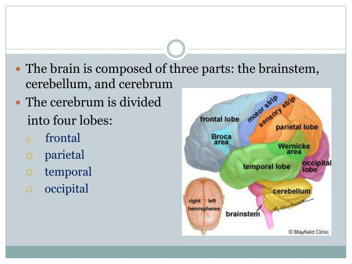 The brain is composed of three parts: the brainstem, cerebellum, and cerebrum