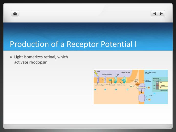 Production of a Receptor Potential I