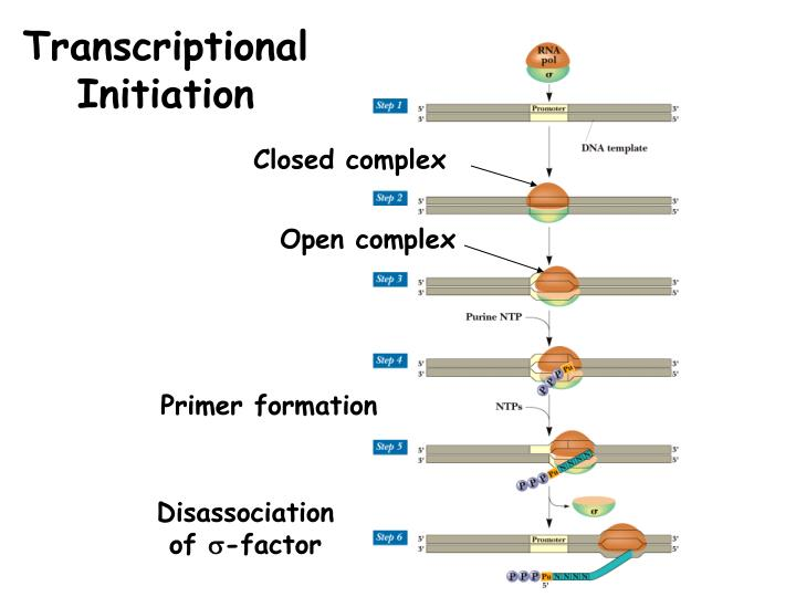 Transcriptional Initiation