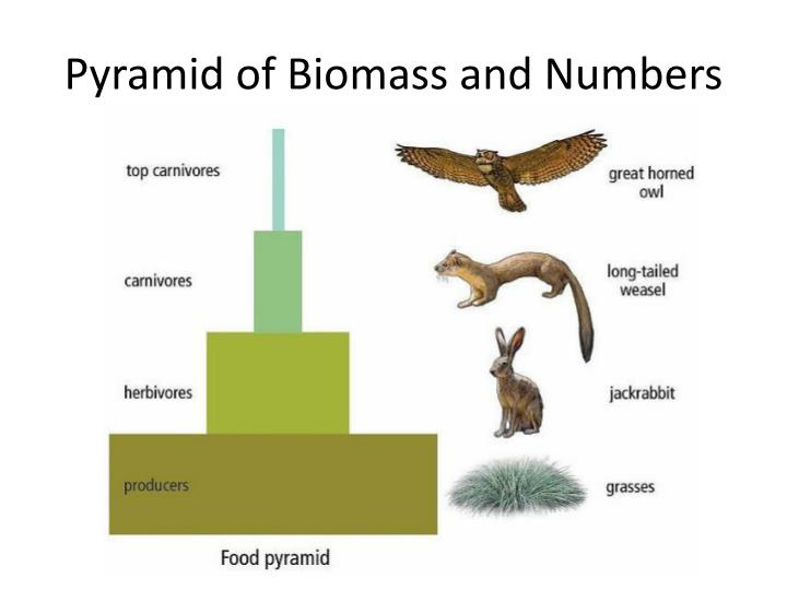 Pyramid of Biomass and Numbers