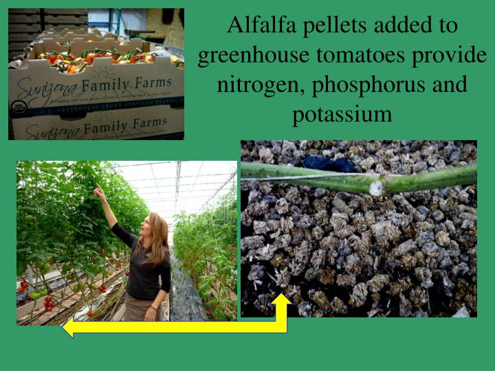 Alfalfa pellets added to greenhouse tomatoes provide nitrogen, phosphorus and potassium