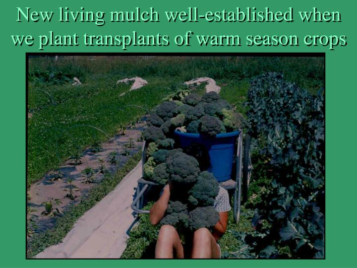 New living mulch well-established when we plant transplants of warm season crops