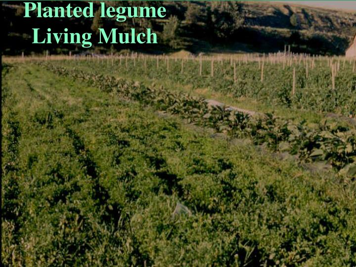 Planted legume Living Mulch