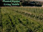 planted legume living mulch
