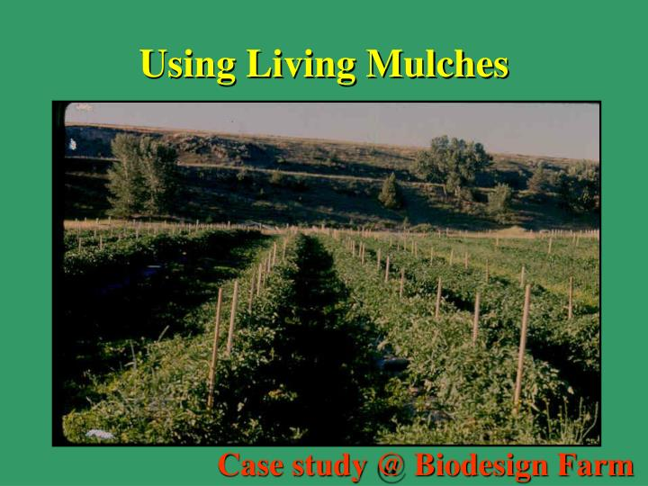 Using Living Mulches