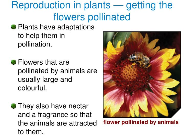 Reproduction in plants getting the flowers pollinated