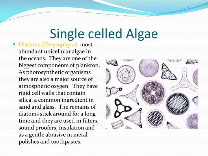 Single celled Algae