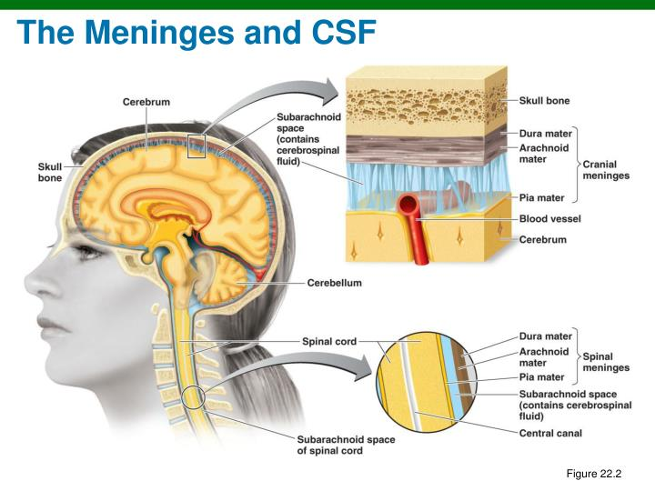 The Meninges and CSF