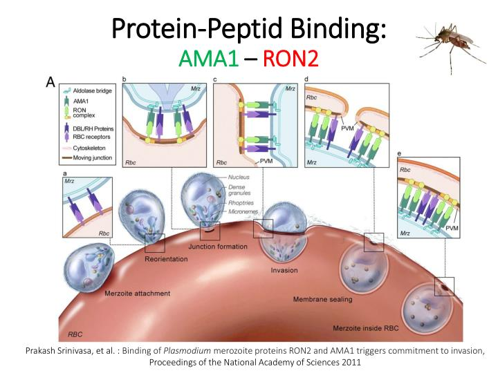 Protein-Peptid B