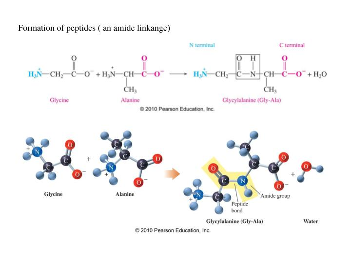 Formation of peptides ( an amide linkange)