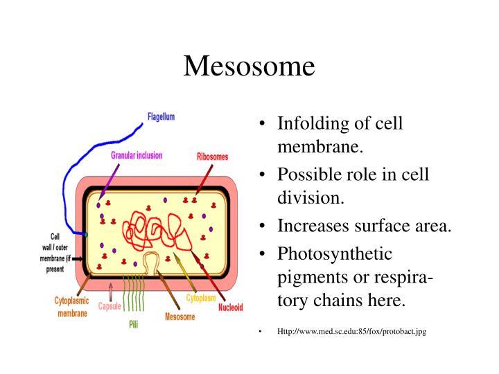 Mesosome