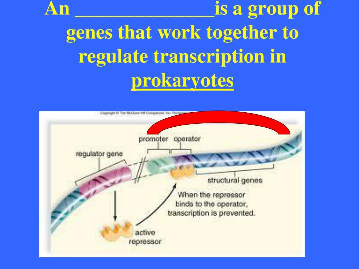 An ______________is a group of genes that work together to regulate transcription in