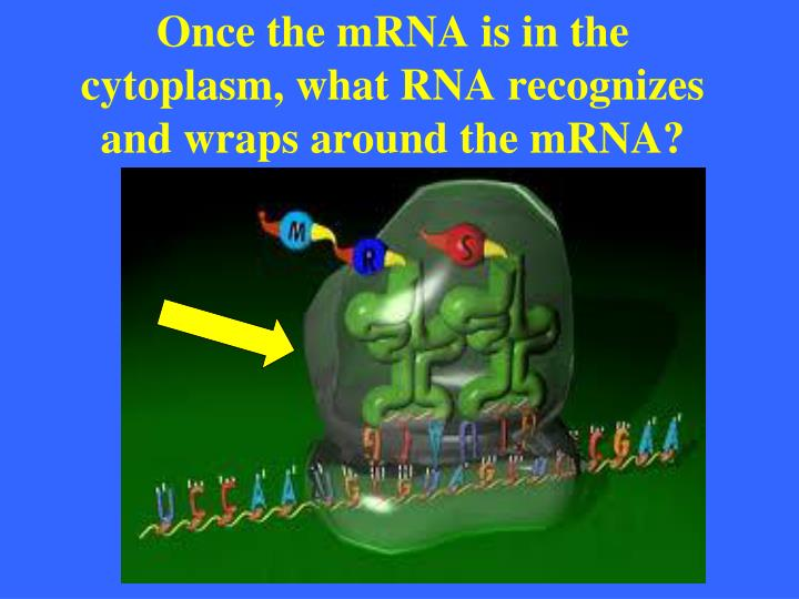 Once the mRNA is in the cytoplasm, what RNA recognizes and wraps around the mRNA?