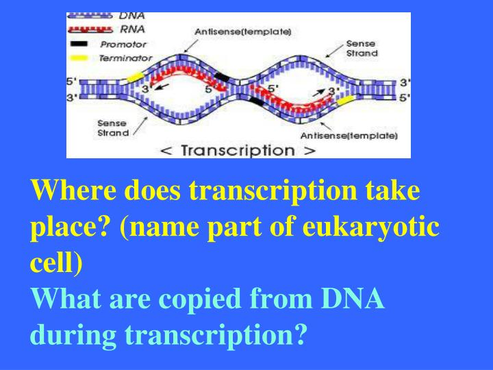 Where does transcription take place? (name part of eukaryotic cell)