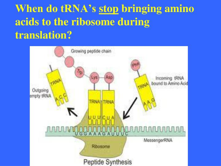 When do tRNA's