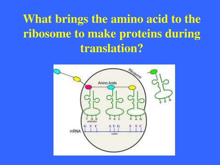 What brings the amino acid to the ribosome to make proteins during translation?