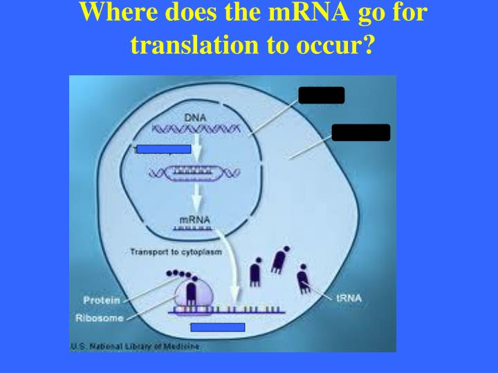 Where does the mRNA go for translation to occur?