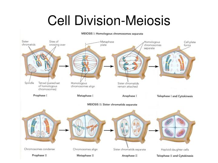 Cell Division-Meiosis