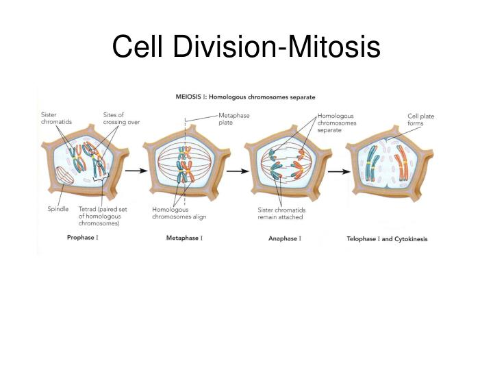 Cell Division-Mitosis