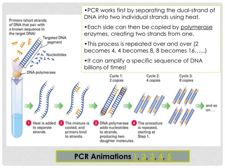 PCR works first by separating the dual-strand of DNA into two individual strands using heat.