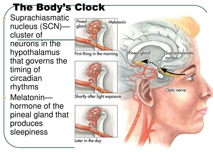 The Body's Clock