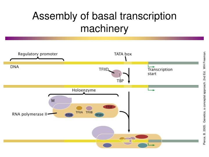 Assembly of basal transcription machinery