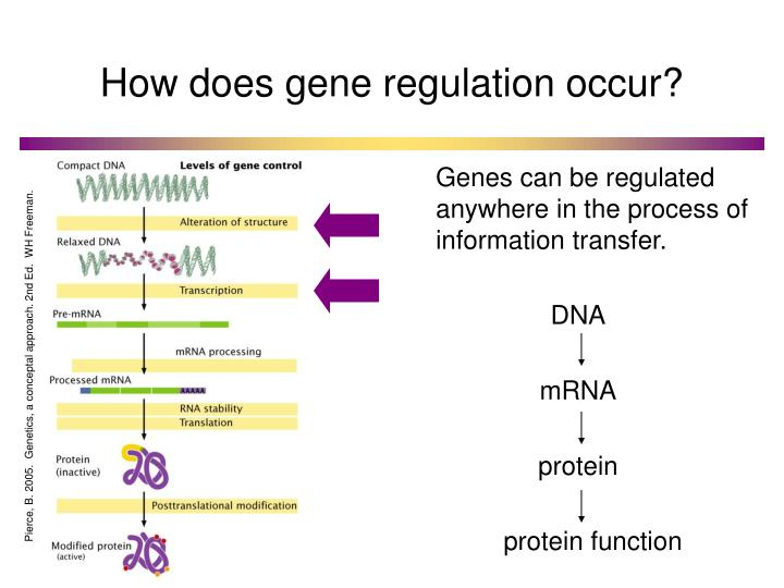 How does gene regulation occur?