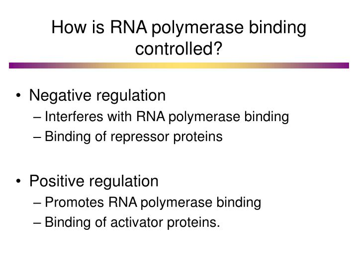 How is RNA polymerase binding controlled?