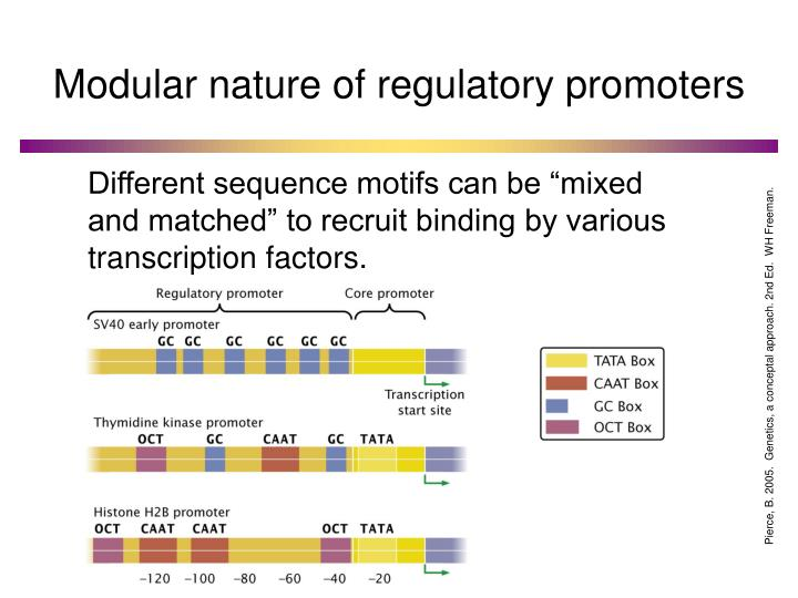 Modular nature of regulatory promoters