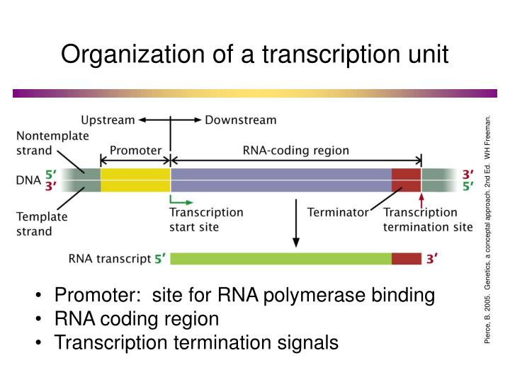 Organization of a transcription unit