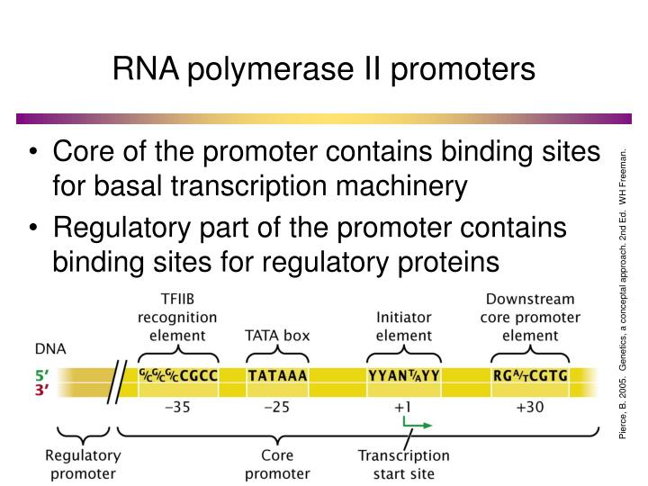 RNA polymerase II promoters
