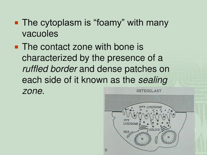 """The cytoplasm is """"foamy"""" with many vacuoles"""