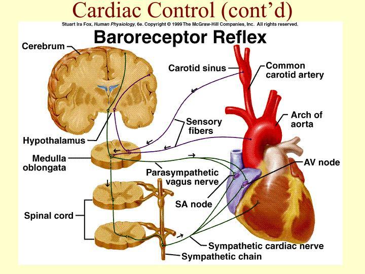 Cardiac Control (cont'd)